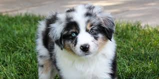 lifespan of australian shepherd miniature american shepherd information characteristics facts