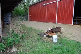 goats the grovestead