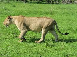 imagenes de leones salvajes gratis fotos gratis animal fauna silvestre salvaje sabana león