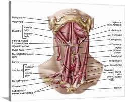 Human Anatomy Anterior Anatomy Of Human Hyoid Bone And Muscles Anterior View Wall Art