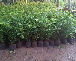 Teh Tehan jual pohon teh tehan berbagai ukuran