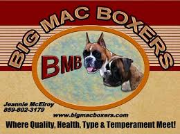 boxer dog european big mac boxers u2013 for work play or show