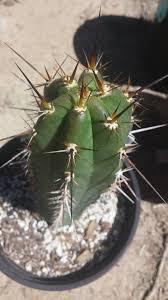 trichocereus tulhuayacensis seeds buy for sale