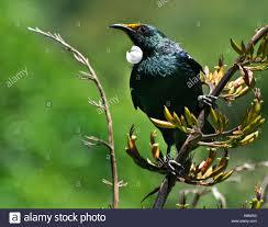 tuis tui parson bird prosthemadera novaeseelandiae a native new