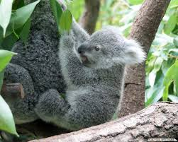 because baby koalas album on imgur