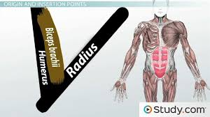 Anatomy And Physiology The Muscular System Skeletal System And Muscular System Video U0026 Lesson Transcript