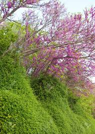 Trees With Pink Flowers Trees With Pink Flowers Crataegus Laevigata Pauls Scarlet Stock