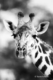 giraffes u2014 ys wildlife photography
