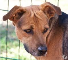 cani in cerca di casa lapo bellissimo in cerca di casa ferrara adozione cani e gatti