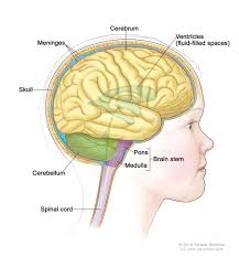 Gross Brain Anatomy Anatomy Of The Pons Overview Of The Central Nervous System Gross