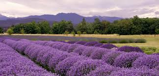 When Is Lavender In Season In Michigan by Lavender Route France Journeys