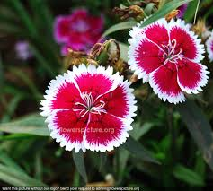 dianthus flower chinensis