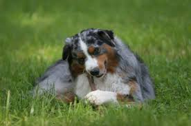 australian shepherd kid friendly australian shepherd dog breed information on australian shepherds