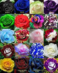 color roses floral treasure mixed color flower seeds pack of 20
