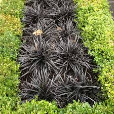 black mondo grass forms a striking contrast with boxwood hedge