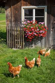 best backyard chickens 17 best perfect chicken house images on pinterest chicken houses
