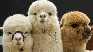 Alpaca Duvets Alpaca Duvet Dealer Fined 109 000 For Fleecing Customers Stuff