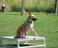 belgian king shepherd favorite breeds page 3 topics on exotic domestic farm and