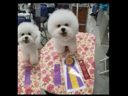 bichon frise 6 years old waterfall bichons bichon frise puppies for sale