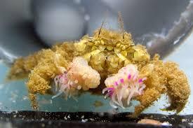 watch u0027pom pom u0027 crabs fight with anemone tipped claws