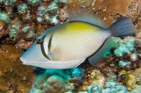 lei triggerfish reef environmental education foundation reef