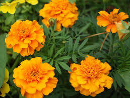 Yellow Orange Flowers - free stock photos rgbstock free stock images