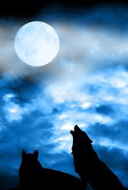 wolf howling to moon stock photo image of solitary