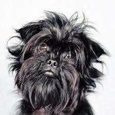 affenpinscher texas 21 best affenpinscher images on pinterest toy dogs small dogs