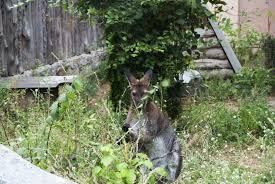tips on how to keep kangaroos away learn about plants kangaroos