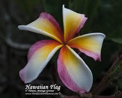 Hawaiian Flag Jl Hawaiian Flag Plumeria Today