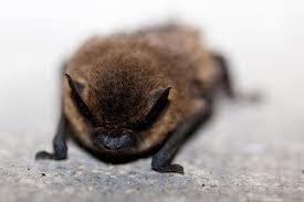 beatrice the little brown bat terminix pest control