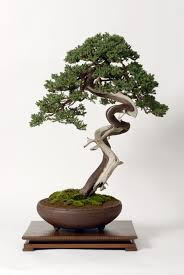 physiology of shaping bonsai trees bonsai ikebana and suiseki