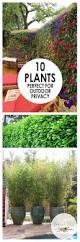 10 plants perfect for outdoor privacy living fence outdoor