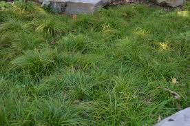 Two Native Sedges Excel In Dry Shade What Grows There Hugh