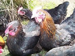 Backyard Chickens Forum by 12 Black Copper Marrans Backyard Chickens