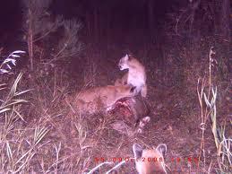 nissan armada wichita ks big cats in ks nissan titan forum
