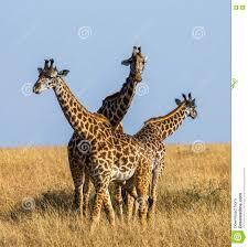 group of giraffes in the savanna kenya tanzania east africa