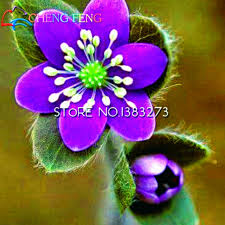 beautiful plants 100pcs rare purple hepatica seeds beautiful flower indoor bonsai pot