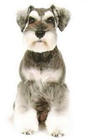 mini schnauzer haircut styles 22 best novi ideas schnauzer images on pinterest mini