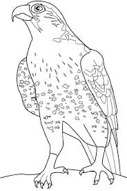 wild falcon bird coloring pages animal coloring pages