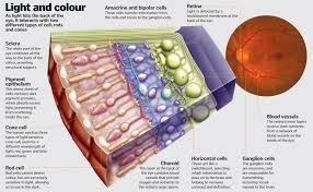 What Structure Of The Eye Focuses Light On The Retina Science Of Vision How Do Our Eyes Enable Us To See How It