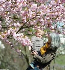 ideal weather conditions help cherry blossom trees burst into