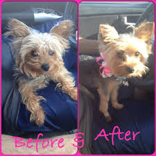 yorkie hairstyles yorkie haircut exles 155 best yorkie haircuts images on pinterest pets doggies and