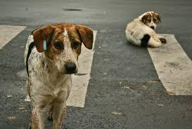 american eskimo dog cost in india street dog wikipedia