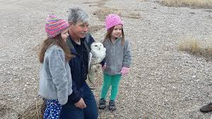 snowy owl released at sandy neck beach