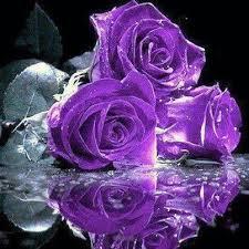 purple roses 43 best purple images on purple roses flowers