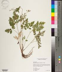 herbarium specimen details apa alabama plant atlas herbarium