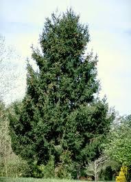 100 christmas tree saplings oak sapling seedling acorn