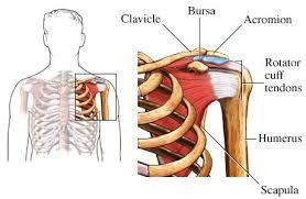 Human Shoulder Diagram Shoulder Bursitis Joint Pain Solutions For Shoulder Joint Pain