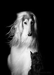 afghan hound stupid the power of hair afghan hound hound dog and afghans